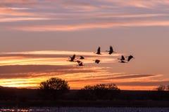 Sandhill Cranes Flying at Sunrise Royalty Free Stock Photos