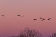 Sandhill Cranes Flying at Sunrise Royalty Free Stock Image