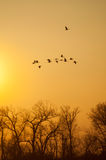 Sandhill Cranes. Flying at sunset stock image