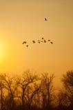 Sandhill Cranes Stock Image