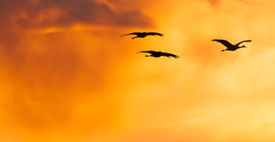 Sandhill cranes. Flying into sunset Stock Image