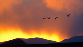 Sandhill cranes flying during sunset. Royalty Free Stock Images