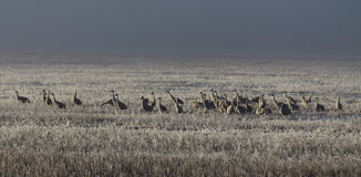Sandhill Cranes and Foggy Field Royalty Free Stock Photography