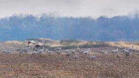 Sandhill Cranes Graze in a Field. Several sandhill cranes graze in search for food as others fly into the field stock photography