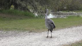 Sandhill Cranes grooming and stretching its wings stock video