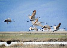 Sandhill Cranes Royalty Free Stock Images