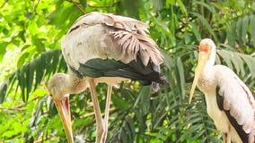 Sandhill Cranes Group Walk among Tropical Plants. Closeup group of Sandhill Cranes stand and walk among palms and tropical plants in park stock video