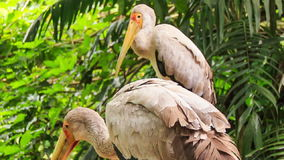 Sandhill Cranes Group Walk among Tropical Plants stock video footage