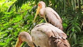 Sandhill Cranes Group Walk among Tropical Plants. Closeup group of Sandhill Cranes stand and walk among palms and tropical plants in park stock video footage