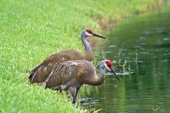 Sandhill Cranes (Grus canadensis) Stock Image