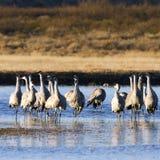 Sandhill Cranes, Grus canadensis Stock Images