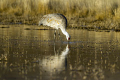 Sandhill Cranes, Grus canadensis Stock Photo