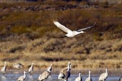 Sandhill Cranes, Grus canadensis Stock Photos