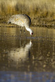 Sandhill Cranes, Grus canadensis Stock Photography