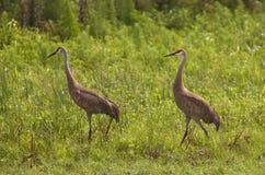 Sandhill cranes - Grus canadensis Stock Images