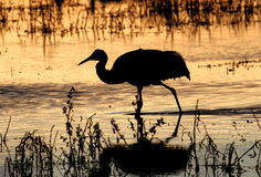 Sandhill Cranes (Grus canadensis) in early morning silouette. Stock Image