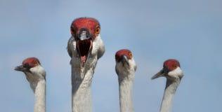 Sandhill cranes (Grus canadensis) Stock Images