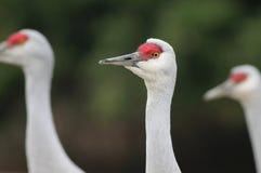 Sandhill Cranes - Grus canadensis Stock Photos