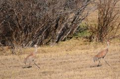 Sandhill cranes camouflaged in a field ! stock image