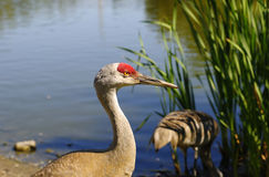 Sandhill Cranes by a Lake Stock Photos