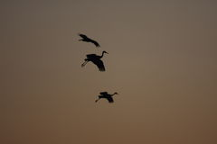 Sandhill Cranes landing at sunset. Sandhill cranes return at sunset to Bosque del Apache refuge in New Mexico Royalty Free Stock Photos