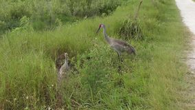Sandhill cranes las alimentaciones en bayas salvajes almacen de metraje de vídeo