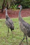 Sandhill cranes. Male and female florida sandhill cranes Royalty Free Stock Photos
