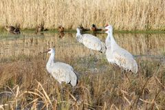 Sandhill Cranes in a Marsh Stock Photo