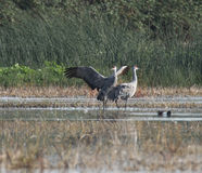 Sandhill cranes in nature Stock Photography