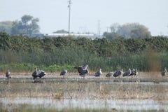 Sandhill cranes in nature Stock Photos