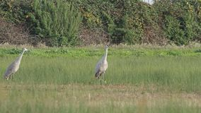 Sandhill cranes in nature stock video