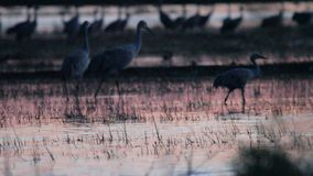 Sandhill cranes in nature stock video footage