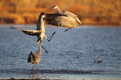 Sandhill Cranes in New Mexico. Two Sandhill Cranes in a dance in New Mexico Royalty Free Stock Photo