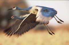 Sandhill cranes o voo com céu azul e montanhas no fundo Fotografia de Stock Royalty Free