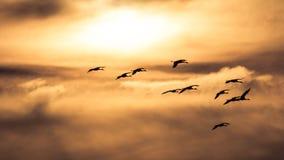 Sandhill Cranes o voo no Sun Imagens de Stock