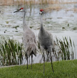 Sandhill Cranes Royalty Free Stock Photography