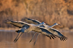 Sandhill Cranes Pair. A pair of sandhill cranes landing at Bosque del Apache Royalty Free Stock Photos