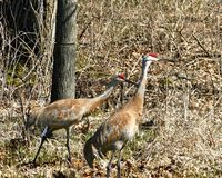 Sandhill Cranes - Pair Walking stock photography