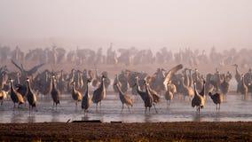 Sandhill Cranes on the Platte River. The sunrise shines through the fog on the Platte River during Sandhill Crane migration Royalty Free Stock Image
