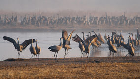 Sandhill Cranes on the Platte River Royalty Free Stock Photography