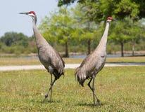 Sandhill Cranes in Pose Stock Photos