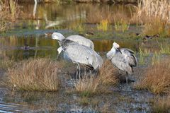 Sandhill Cranes Preening Feathers Stock Image