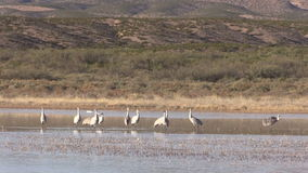 Sandhill Cranes Ready to Fly stock video