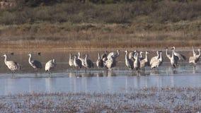Sandhill Cranes Resting stock video footage