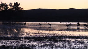 Sandhill Cranes Resting at Sunset stock video