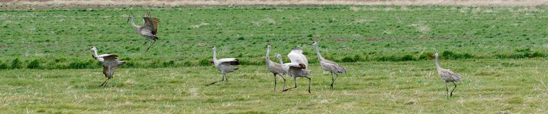 Sandhill cranes in a row Stock Image