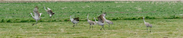 Sandhill cranes in a row Royalty Free Stock Photography