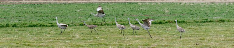 Sandhill cranes in a row Stock Images