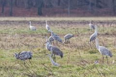Sandhill Cranes Search for Food. Multiple sandhill cranes, gather in a field of grass in search of food royalty free stock photography