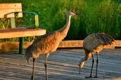 The Sandhill cranes, seeing the lack of humans nearby, board the pier and eat the leftover birdseeds. royalty free stock image